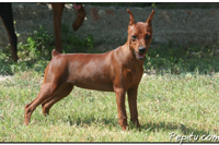 pincho pinscher 